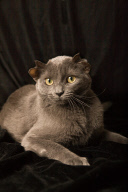 ***EXCLUSIVE, SPECIAL FEES*** CHICAGO, USA: Yoda the four eared cat. Having seen a bundle of fur being passed around a Chicago pub, Valerie Rock was amazed to find it was a four eared kitten. She fell in love with it, took it home and named it Yoda. PHOTOGRAPHY BY GLENN OLSEN / GB / BARCROFT MEDIA LTD + 44 (0) 845 370 2233 www.barcroftmedia.com