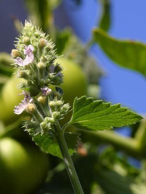 catnipleavesflowers3