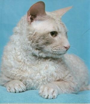 katt med allergi