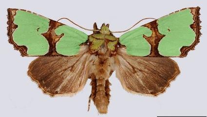 rotfly