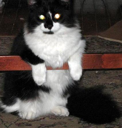 bandit_black_and_white_cat_