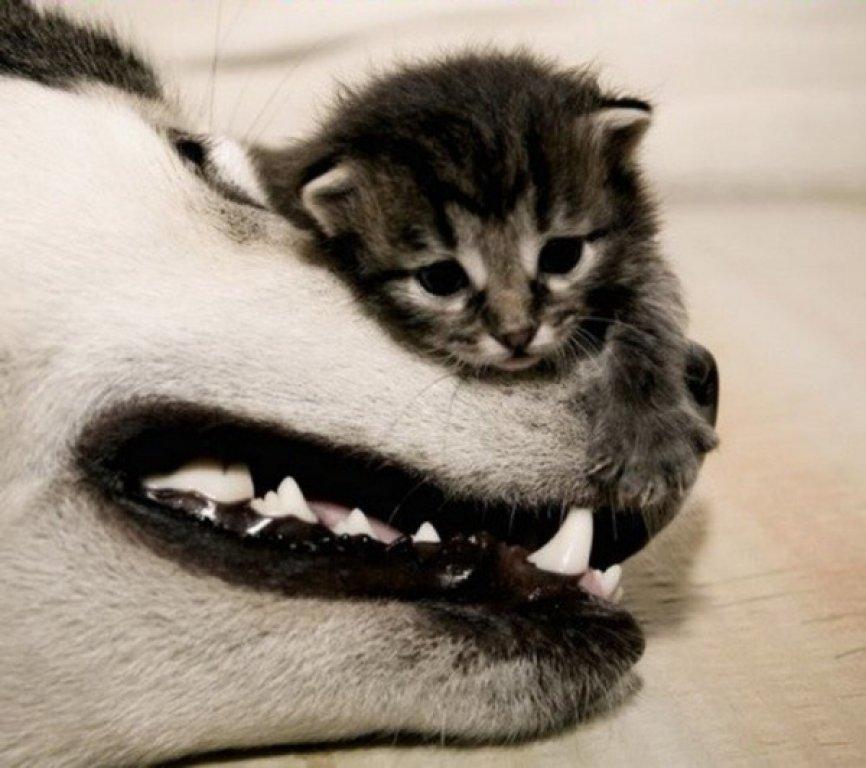 kitten_husky_climb-600x532